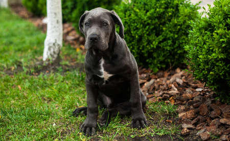 Cute cane corso puppy dog outdoor sitting on the green lawn