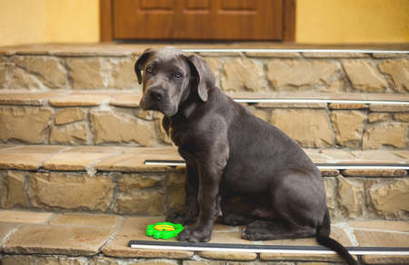 Cute cane corso puppy dog outdoor sitting on the house porch Stockfoto