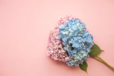 Hydrangea pink and blue flowers composition against pink minimal trendy background. Flat lay, copy space.