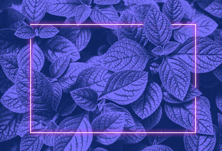 Vibrant blue leaves layout and pink neon glowing frame. Flat lay. Vapor wave retro pattern for design. Ultra violet colors.
