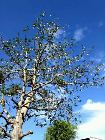 cotton: Cotton tree