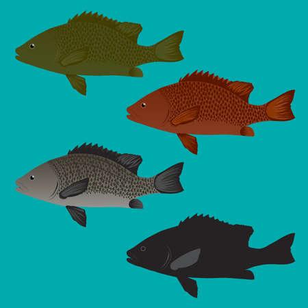 sea bass: Sea Bass and Snapper fish Vector