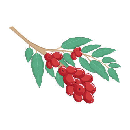 Arabica Coffee Tree and Plant with Bean Isolated Vector