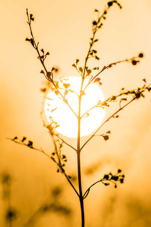 wild grass: wild grass plant on sunset background Stock Photo