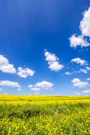 oilseed: Yellow oilseed rape field under the blue sky
