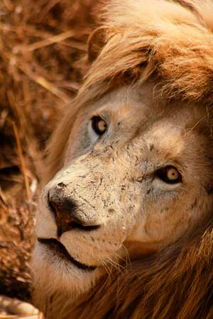 the scars: Lion with scars on his face Stock Photo