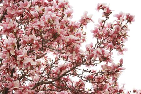 Blossom magnolia flowers Stock Photo