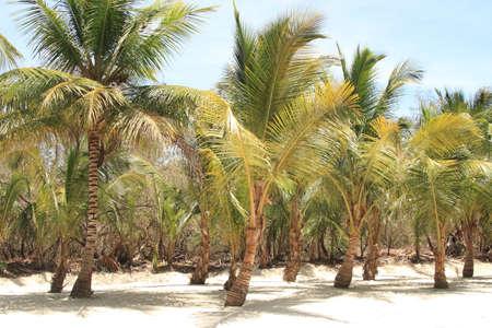 Paumes des Caraïbes sur l'île de Saona, République dominicaine. Banque d'images - 43266304