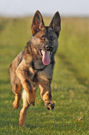 perro corriendo: ejecutando a j�venes shepard alem�n Foto de archivo