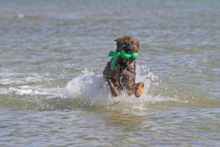 german shepherd dog water photo
