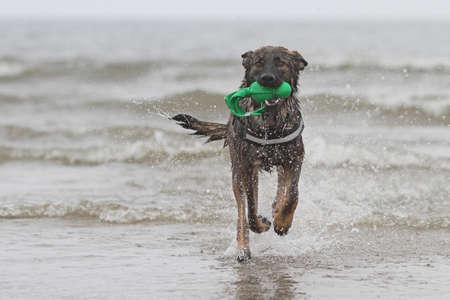 german shepherd dog in action photo