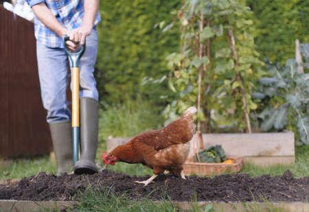Caucasian farmer gardening with chicken