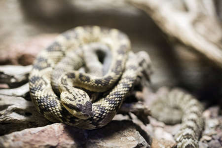 Close up of coiled rattlesnake