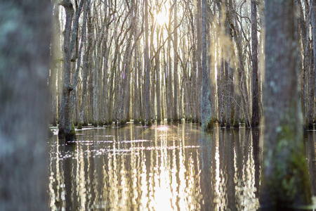 Bare Trees In Swamp Reflecting In Still Water