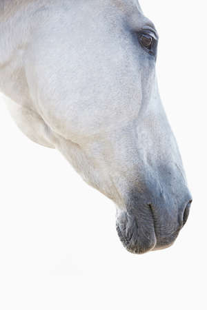 Close Up Of Face Of White Horse