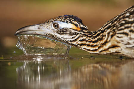 Close Up Of Greater Roadrunner Drinking Water