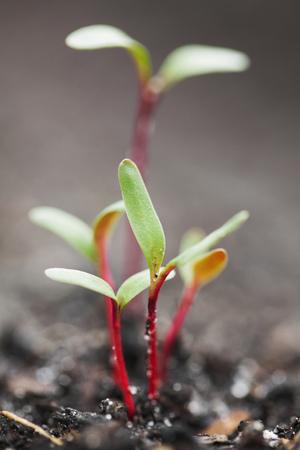 Close up of seedlings growing in dirt