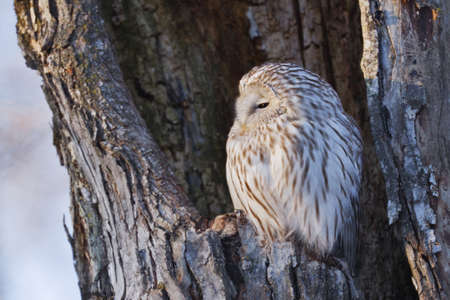 Ural owl perching in nest cavity LANG_EVOIMAGES