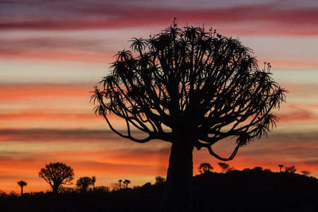 Silhouette of quiver tree in sunset sky