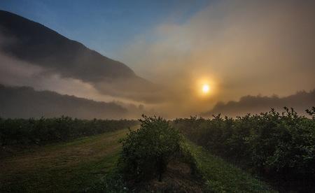 Blueberry bushes on farm at sunset