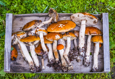 Fresh picked mushrooms on wooden tray