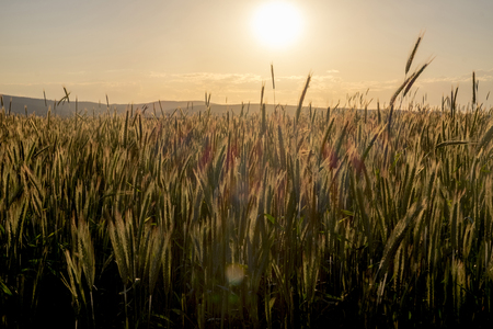 Field of wheat at sunset Banco de Imagens - 102038018