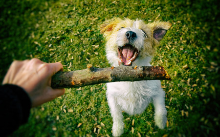 jack russel: Jack Russel dog with stick