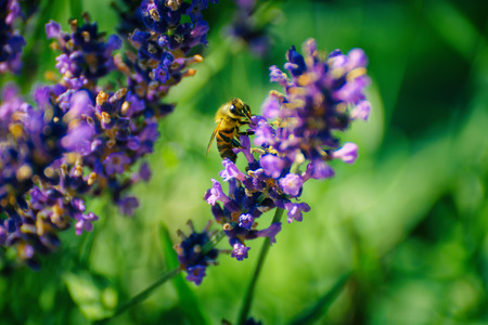 bee on flower: bee on lavender flower Stock Photo