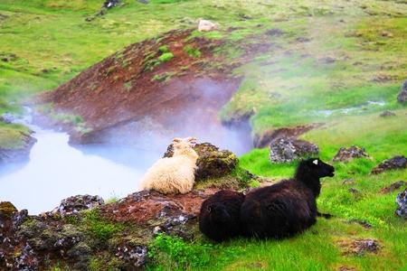 SHEEP AT HVERAGERDI HOT SPRINGS, ICELAND
