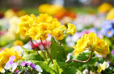 Primroses in blossom