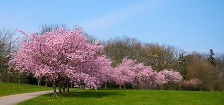 Sakuras in Blüte