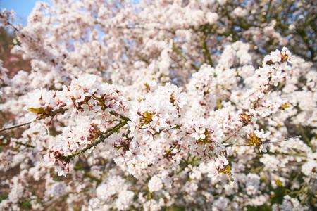 Sakuras in Blossom Foto de archivo