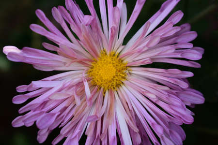 a purple mum with a yellow center