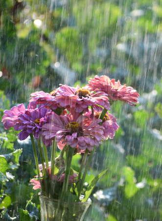 pink zinnias in the rain