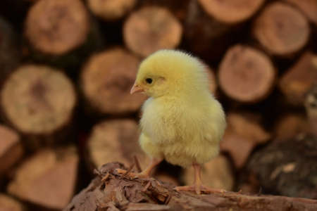 A yellow chick on a wood pile