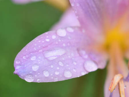 A surprise lily with dew drops