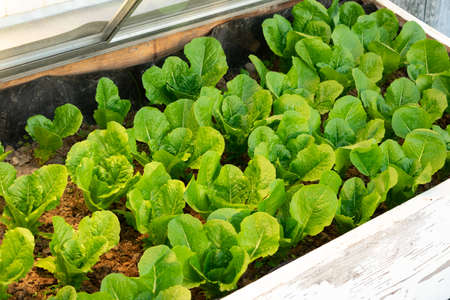 a bed of lettuce in a cold frame