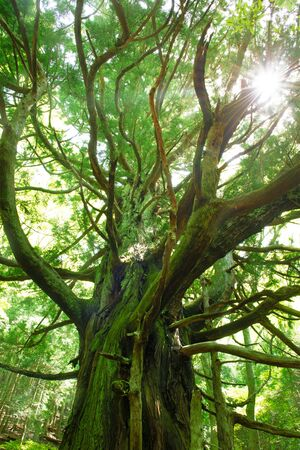 A big tree. Japanese forest