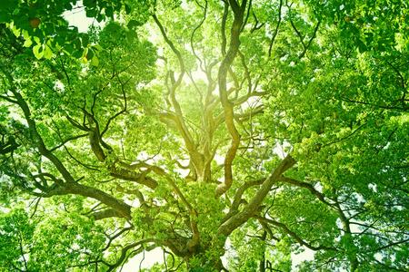 Großer Baum in einem Wald. Frisches Grün und Ökologie