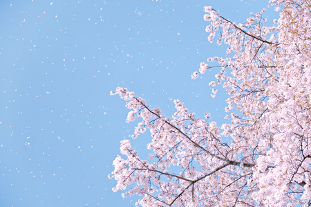 environmental issue: Flower of a cherry tree. Japan.Tourism