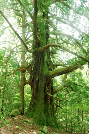 natural force: A big tree. Japanese forest.