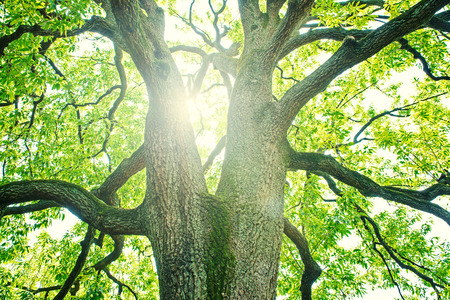 tree  forest: Big tree in a forest. Fresh green and ecology