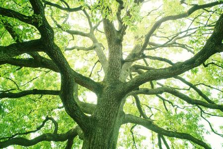 arbol: Gran árbol en un bosque. verde fresco y ecología