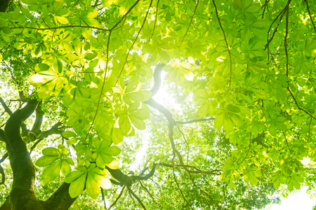 sunlight: Big tree in a forest. Fresh green and ecology. Chestnut tree. Stock Photo