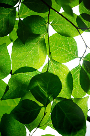 Leaf and vein. Photosynthesis and ecology