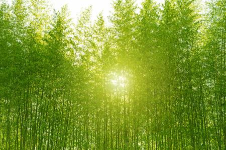 Bosque de bambú, Turismo. Foto de archivo - 50143856