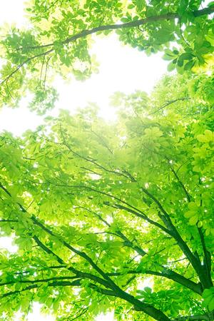 Chestnut tree, Ecology Фото со стока - 50163301
