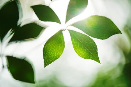 Blatt und Vene Photosynthese und Ökologie