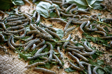 sericulture: Sericulture and silk production. Stock Photo