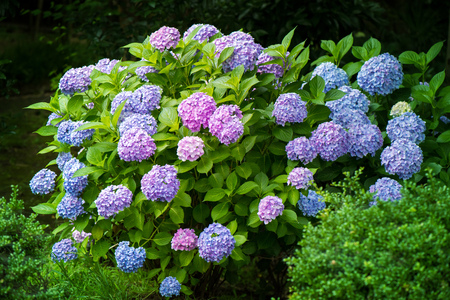 early summer: Hydrangea, Japanese rainy season. Heart shape.